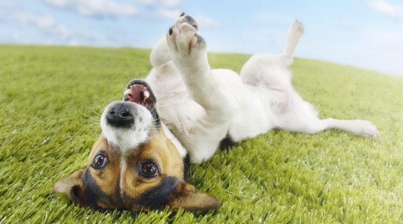 Почему собаки валяются в экскрементах