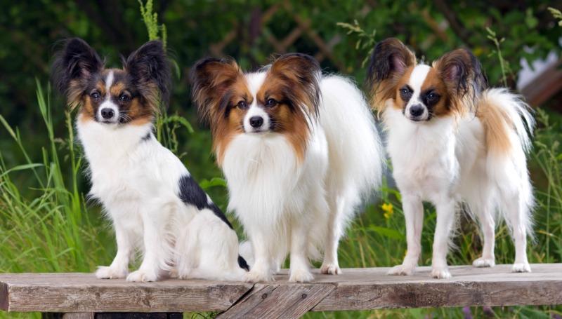 Предназначение и характер собаки породы папильон
