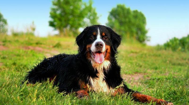 Бернский зенненхунд – описание породы, характер и уход