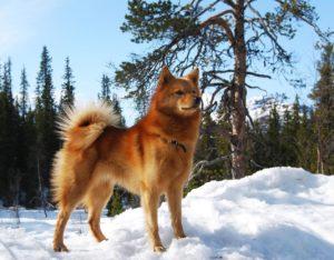 Карело-финская лайка происхождение
