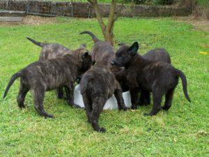 Щенки голландской овчарки