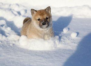 Западно-сибирская лайка щенок