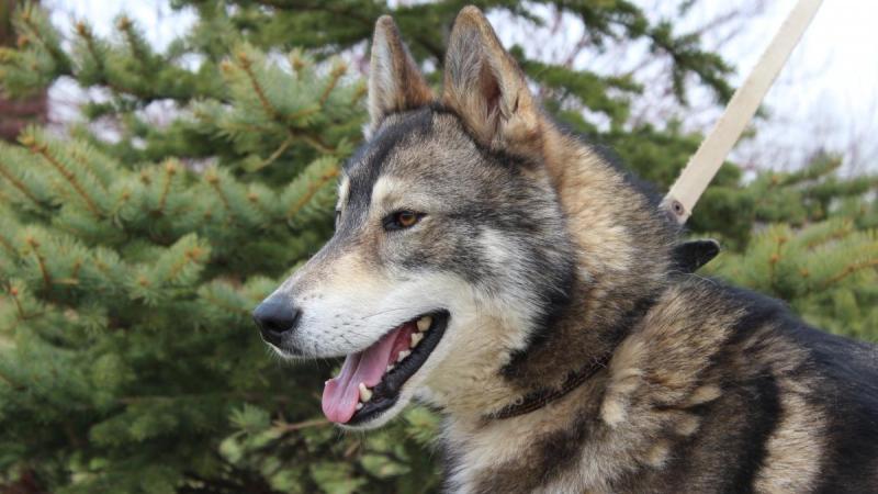 Западно-сибирская лайка: происхождение, стандарт породы