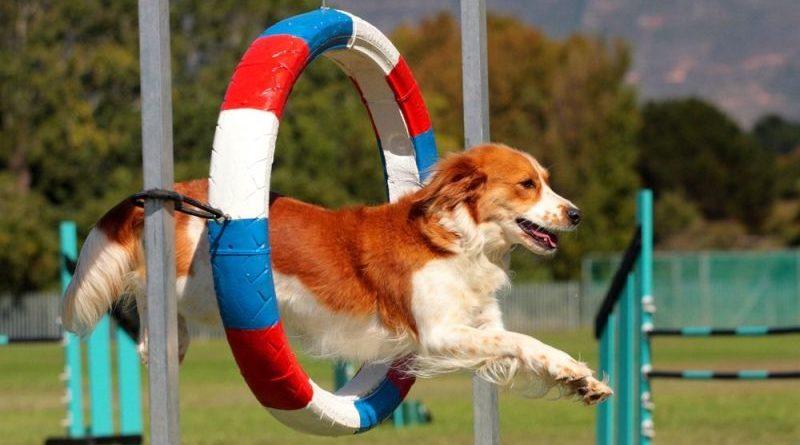 Аджилити для собак: основные принципы и качества