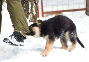 Агрессия у щенка