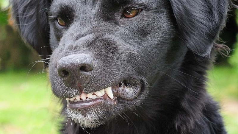 Сколько живет собака с бешенством