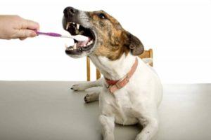 Чистка зубов собаке