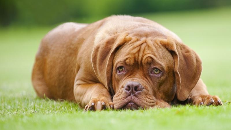 Слабость у собаки после прививки