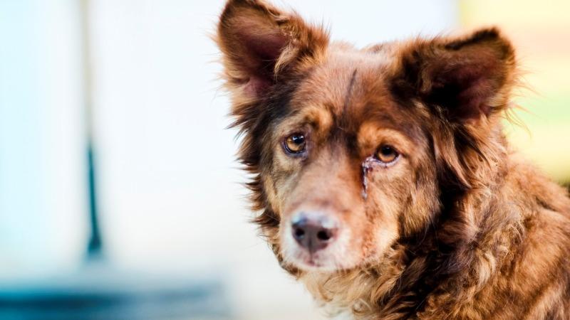 Коронавирус у собак- симптомы и лечение