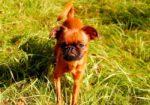 Порода собак пти брабансон для души и отдыха