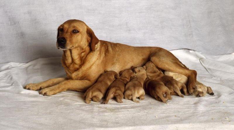 Чем следует кормить собаку после родов