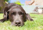 Способы заражения и методы лечения чумки у собак