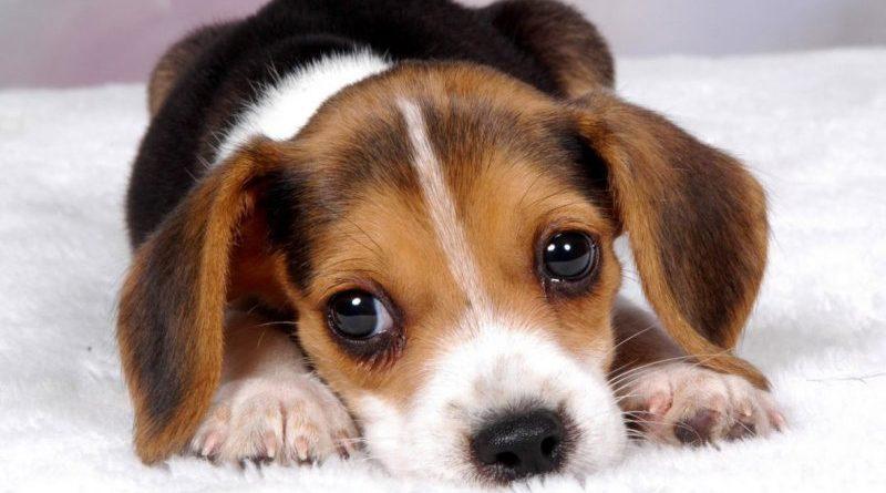 Как протекает энтерит у щенков