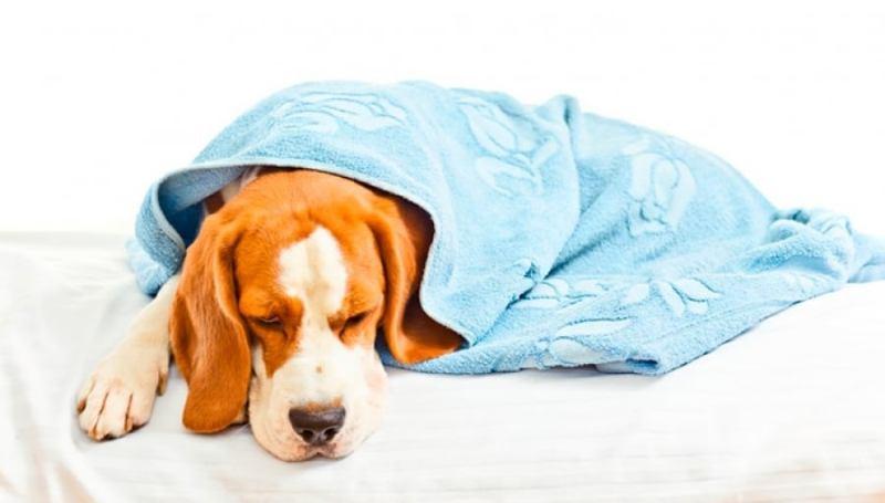 Основные характеристики парвовируса у собак