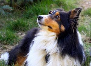 Собака шелти характеристика
