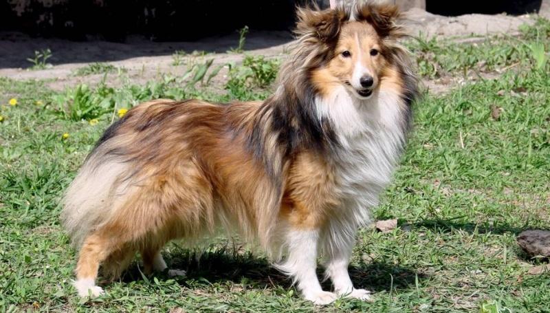 Особенности характера породы собак шелти