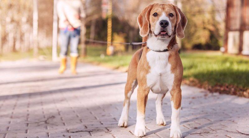Что делать с собакой во время течки