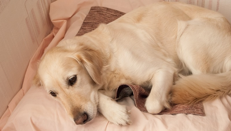 Бывает ли течка у стерилизованных собак