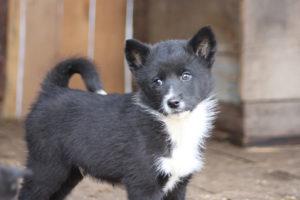 Восточно сибирская лайка щенок