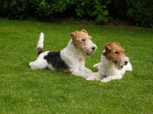 Процесс вязки собак