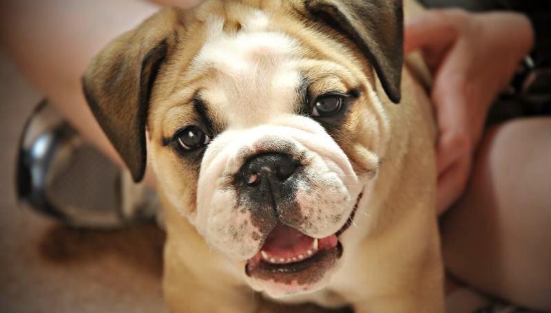 Что делать если у собаки сломался зуб