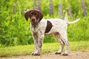 Английский пойнтер щенок
