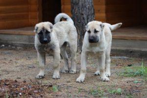 Армянский гампр щенки