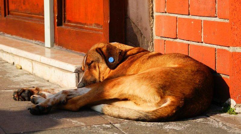 Что означает бирка желтого цвета на ухе собаки