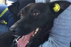 Желтая клипса на ухе у собаки