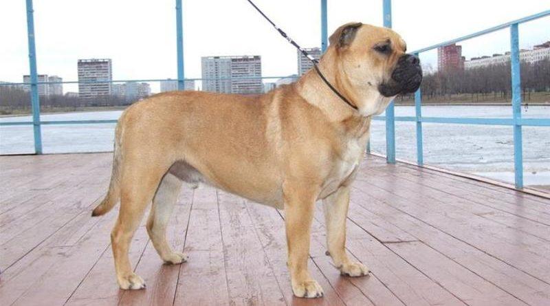 Ка де Бо – собака с отважностью льва и нежностью кошки
