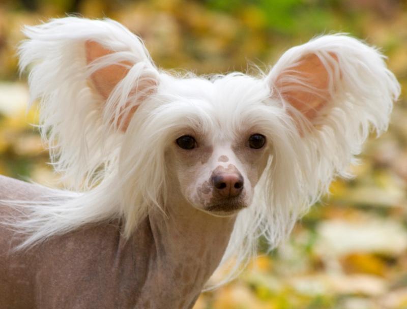 Китайская хохлатая собака стандарт породы