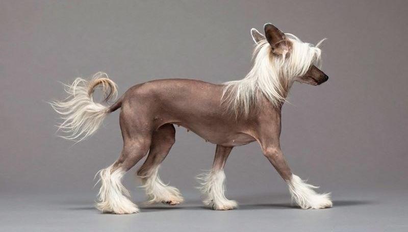 Условия содержания китайской хохлатой собаки
