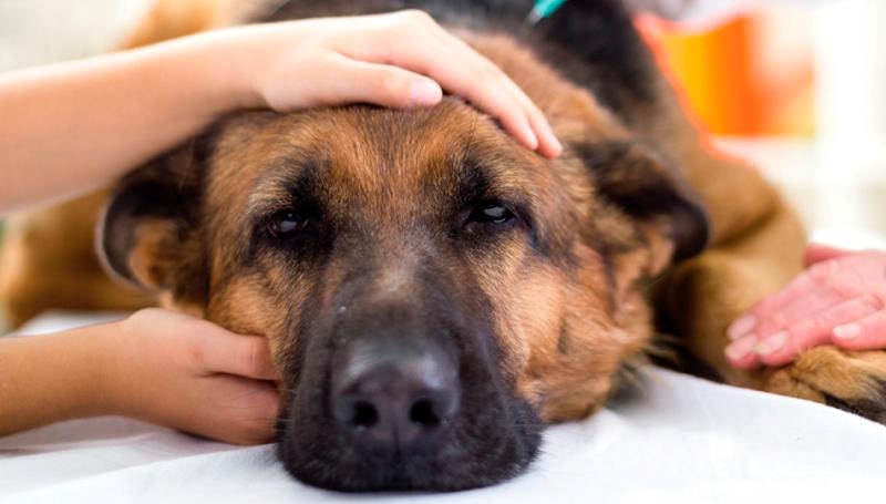 Первые признаки пироплазмоза у собак