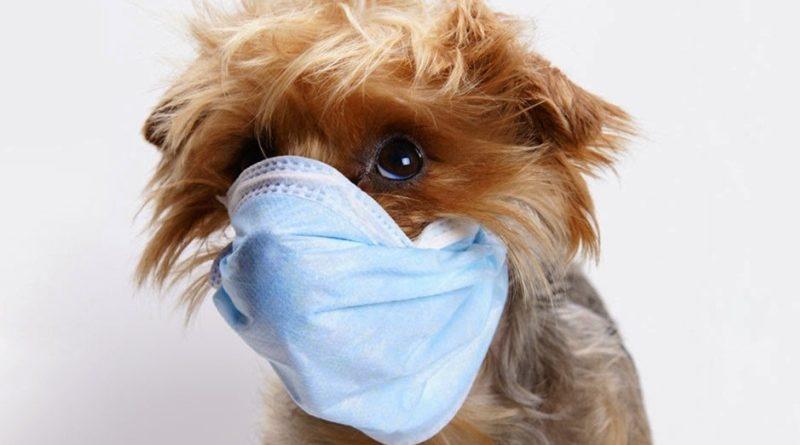 Симптомы и лечение питомникового кашля у собак