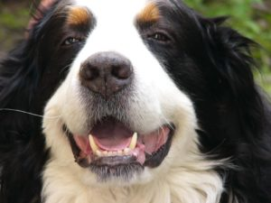 Коренные зубы у собаки
