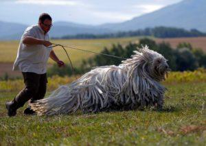 Венгерская овчарка характеристика