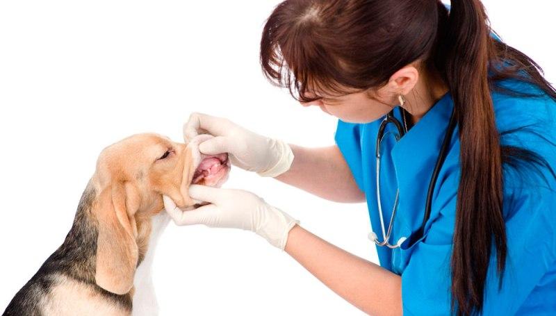 Можно ли удалять зубы собакам