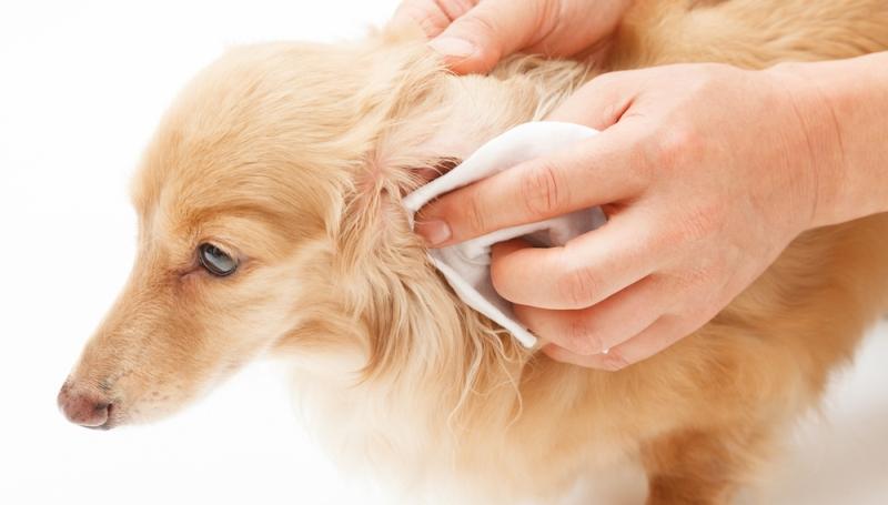 Лечение ушного клеща у собак