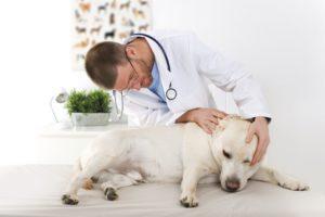 Ушной клещ у собак осмотр у ветеринара