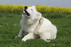 Ушной клещ у собак симптомы