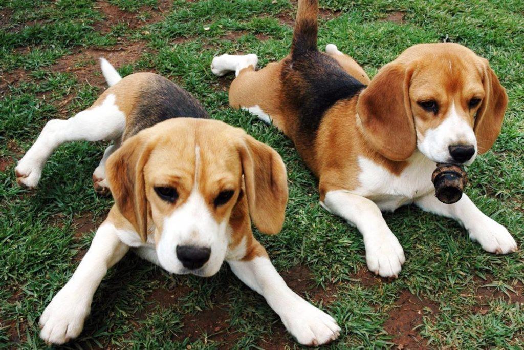 Английский фоксхаунд щенки