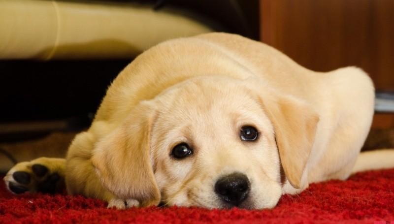 Пироплазмоз у собак после укуса клеща