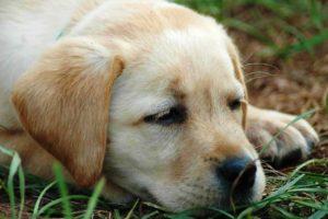 Пироплазмоз у щенка