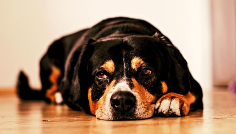 Методы избавления от течки у собак