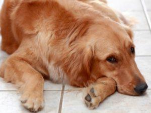 Больная печень у собаки