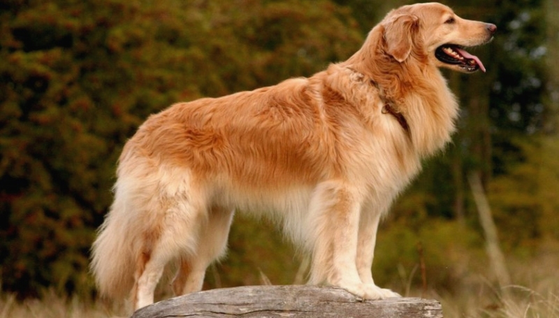 Порода собак ховаварт