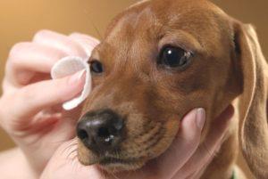 Гнойный конъюнктивит у собак