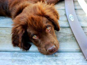 Конъюнктивит у собак симптомы
