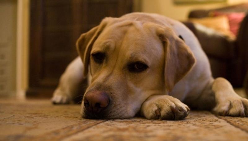 Восстановление и осложнения после пироплазмоза у собак
