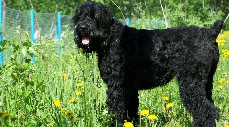Собака русский терьер